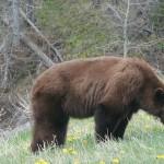 ある日、森の中、クマさんに出会った