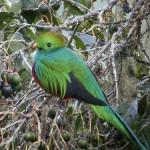 ケツァールに会いにいってきた。コスタリカの幸せになれる幻の鳥