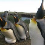 お持ち帰りしたいくらい可愛いペンギンさん@パタゴニア