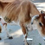 牛が神聖なインドでステーキは食べられるのか?【連載告知】