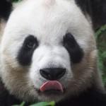 パンダを独り占めしたいならマカオパンダ館に行けばいいじゃない