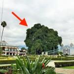 まるで家サイズのブロッコリー。世界一太い木「トゥーレの木」を間近で観察してきた(メキシコ)