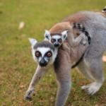 キツネザルもバナナ好きなの…?マダガスカルのナハンプアナ保護区で確かめてきた