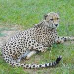 アフリカ最古の自然保護区で私が学んだ正しいチーターの触り方