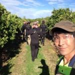 韓国人5人とオーストラリアで仕事探し中の僕、シトラス農園でほめられる