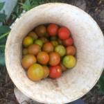 韓国人5人とオーストラリアで仕事探し中の僕、184km先のトマトをつむ